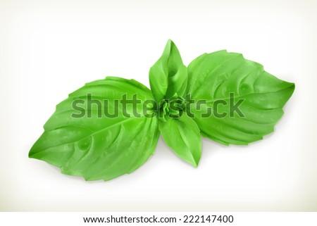 Basil leaves, vector illustration - stock vector