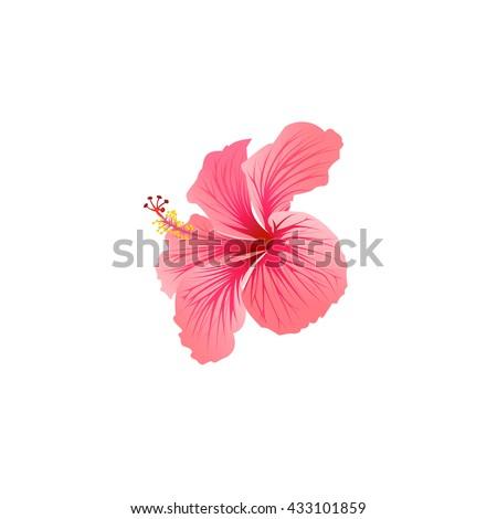Beautiful Blooming Hibiscus Tropical Flower Hibiscus Stock ...