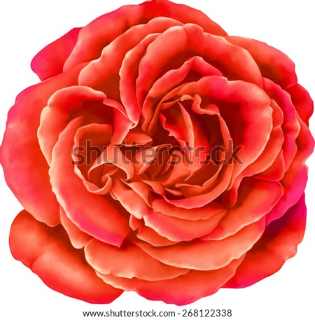 Beautiful bright red sexy Rose Flower isolated on white background. Vector illustration - stock vector