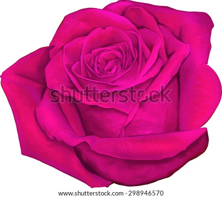 Beautiful colorful pink Rose Flower isolated on white background. Vector illustration - stock vector