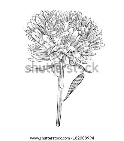 aster flower stock images, royaltyfree images  vectors, Beautiful flower