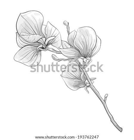 beautiful monochrome, black and white twig blossoming magnolia tree. flower isolated. Hand-drawn contour lines and strokes.