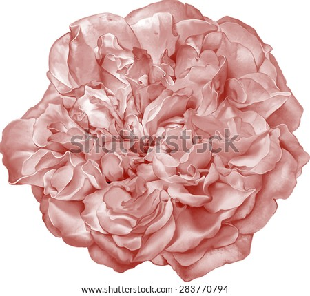 Beautiful red Rose Flower isolated on white background. Vector illustration - stock vector