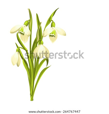 Beautiful white snowdrop flowers for spring design. Vector illustration.