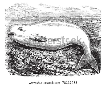 Beluga Whale or White Whale or Delphinapterus leucas, vintage engraving. Old engraved illustration of a Beluga. Trousset Encyclopedia - stock vector