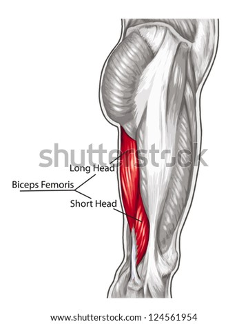 Biceps Femoris Long Short Head - didactic board of anatomy of leg human muscular system - stock vector