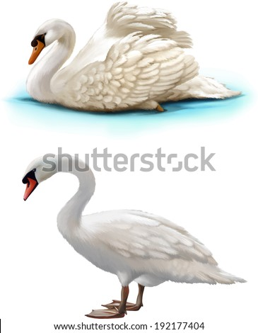 Bird swan swims on a white background, white swan standing - stock vector