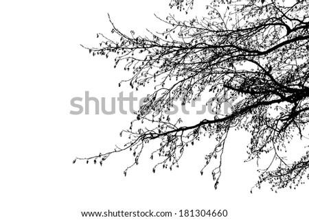 Black Alder tree branches silhouette, vector - stock vector