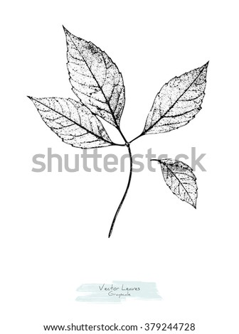Black and white (grayscale) vector leaves of wild grape; stylized as stamp or imprint; rustic or boho style - stock vector