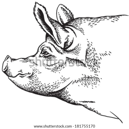 Black and white sketch of a pig's face. Vector portrait. - stock vector