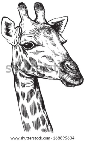 Giraffe Sketch Stock Images Royalty Free Images Amp Vectors