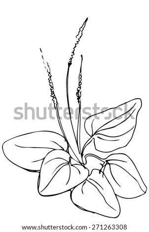 black and white vector sketch of medicinal plant plantain - stock vector