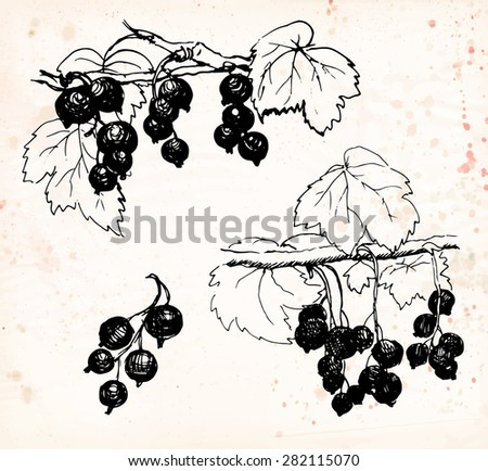 Black currant: berries with leaves and branches. Black pen drawing on vintage beige background. Vector illustration.