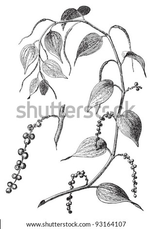 Black pepper (Piper nigrum) / vintage illustration from Meyers Konversations-Lexikon 1897 - stock vector