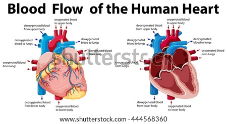 human heart anatomy stock images, royalty-free images & vectors, Muscles