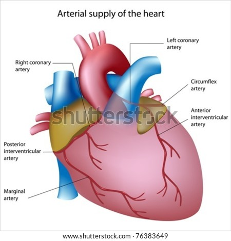 Blood supply to the heart, sites of heart attack - stock vector