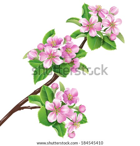 Blossoming apple-tree branch isolated on white. - stock vector