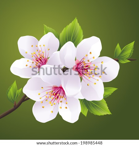 Blossoming branch of Japanese cherry tree sakura. Beautiful cherry blossom white, isolated on green background. Vector illustration - stock vector