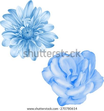 Blue chrysanthemum flower, Blue Spring Camellia flower.Isolated on white background. Vector golden-daisy - stock vector