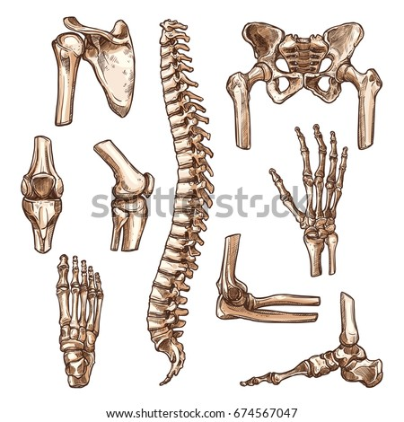 Bone and joint of human skeleton sketches. Hand, hip, knee, foot, spine and arm, finger, elbow and pelvis, rib, shoulder, ankle, thorax, chest and wrist for anatomy medicine, orthopedic surgery design