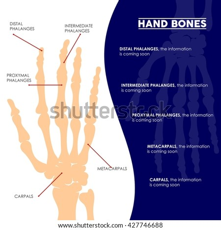 Bone illustration in vector