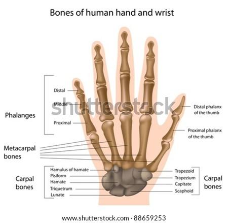 Bones of the hand - stock vector