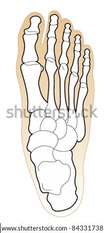 Bones of the Human Foot - stock vector