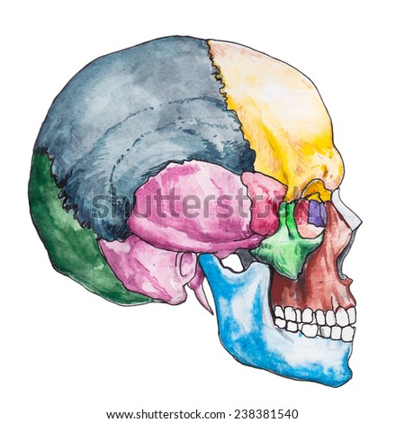 Bones of the human skull. Skull vector illustration. Anatomy medical. The bones of the skull anatomy. - stock vector