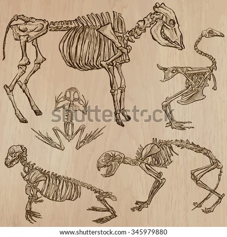 BONES, SKELETONS and Skulls of some Animals.Collection of an hand drawn vector illustrations.Freehand sketching.Each drawing comprise a few layers of lines. Background is isolated. Editable in groups. - stock vector