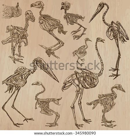 BONES, SKELETONS and Skulls of some BIRDS.Collection of an hand drawn vector illustrations. Freehand sketching. Each drawing comprise a few layers of lines. Background is isolated. Editable in groups.