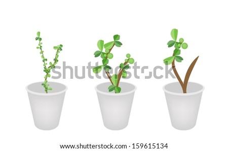 Bonsai Tree, An Illustration of Carmona Retusa (Vahl) Masam Plant in Three Flowerpots for Garden Decoration.  - stock vector