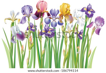 Border of multicolor Iris flowers - stock vector