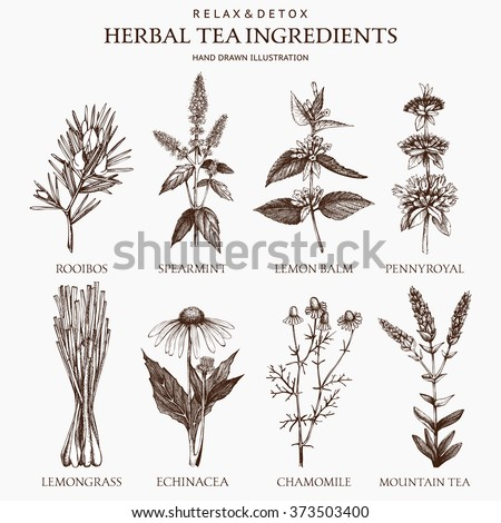 Botanical collection of hand drawn herbal tea ingredients. Decorative vector set of vintage herbs sketch  - stock vector