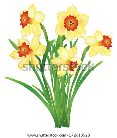 bouquet of daffodils isolated on white background - stock vector
