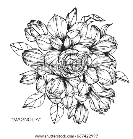 Bouquet of magnolia flowers drawing and sketch with line-art on white backgrounds.