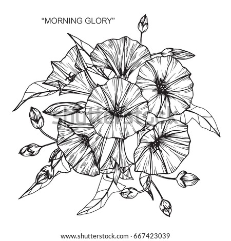 bouquet morning glory flowers drawing sketch stock vector