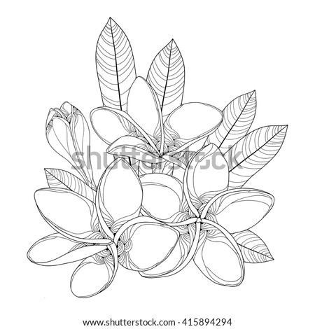 Bouquet with ornate Plumeria or Frangipani flower, bud and leaves in black isolated on white background. National flower of Laos and Bali. Vector floral elements in contour style for summer design.  - stock vector