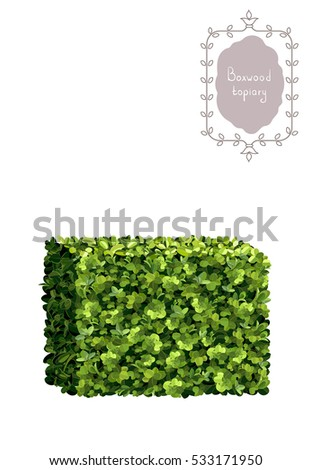 Boxwood Topiary Border Garden Plant Vector Background English Evergreen Dwarf