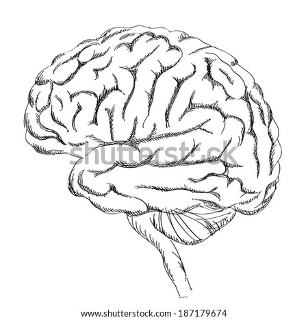 Brain anatomy. Human brain lateral view. Sketch illustration isolated on white background.  - stock vector