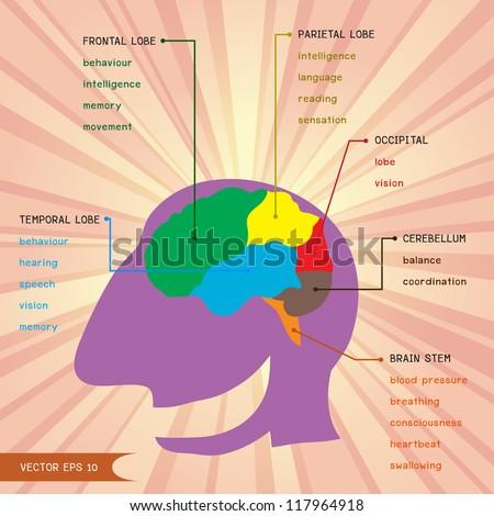 Brain function vector - stock vector
