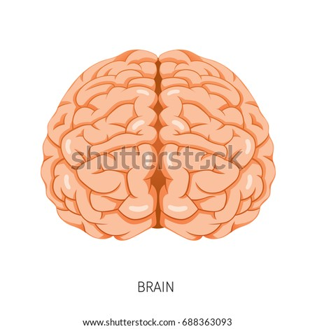 Brain Human Internal Organ Diagram Physiology Stock Vector 2018