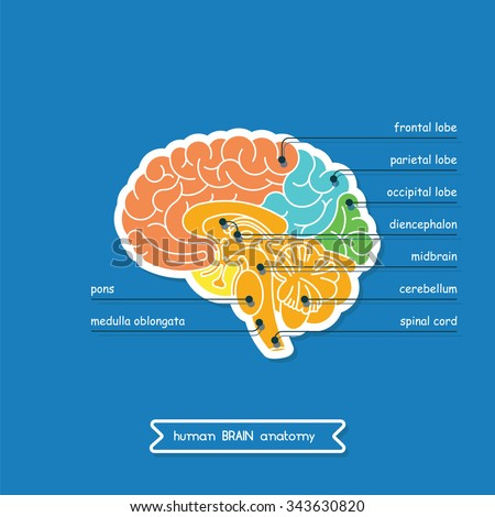 Brain is a part of Central nervous system. Brain CNS in  vector. CNS illustration, human brain for medical design. Vector human brain. A cross section of the human brain. - stock vector