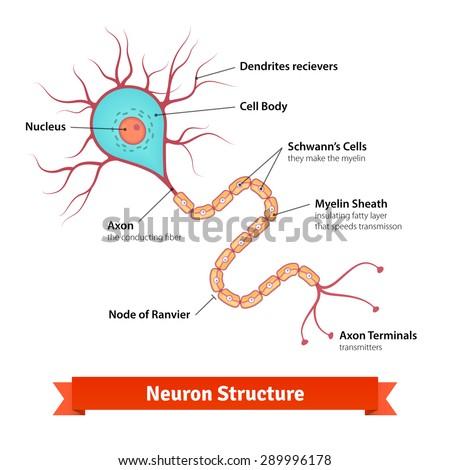 Brain neuron cell diagram. Vector illustration. - stock vector
