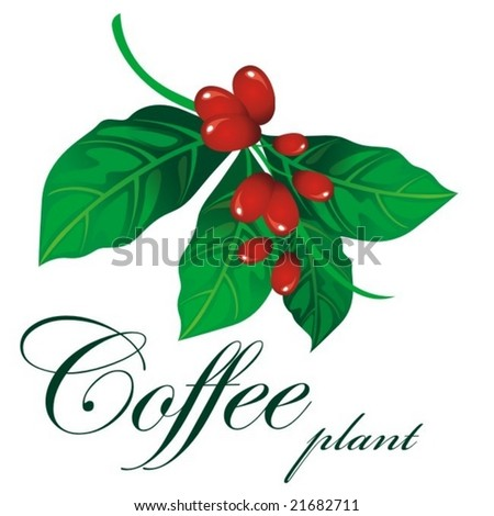 Branch of coffee plant - stock vector