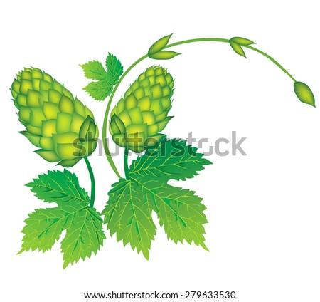 Branch of hops.  - stock vector