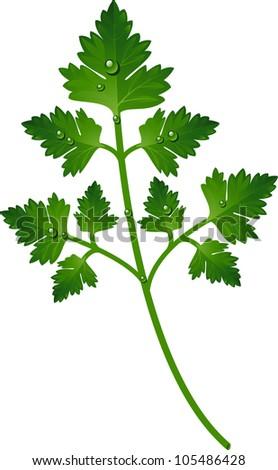 Branch of parsley - stock vector