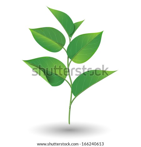 Branch with green leaves isolated on white background.