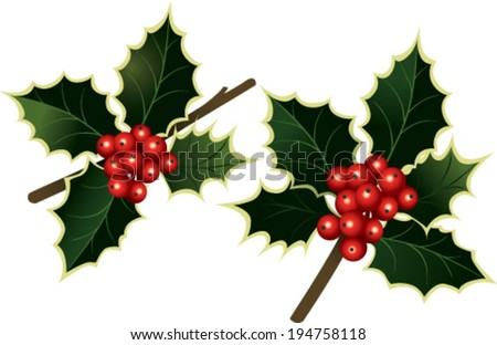 Branches of holly  - stock vector