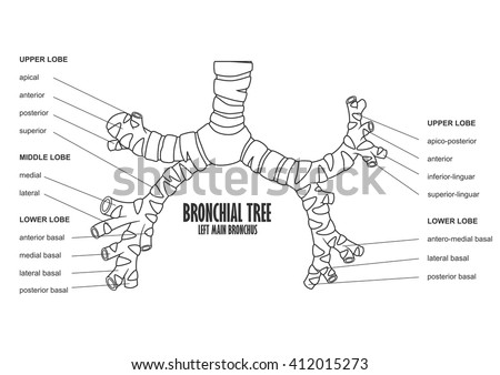 Bronchial Tree Left Main Bronchus Human Stock Vector 412015273 ...