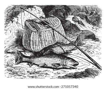 Brown trout, vintage engraved illustration. La Vie dans la nature, 1890.  - stock vector
